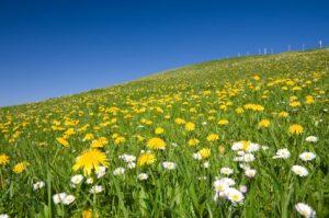 Health Benefits Of Eating Dandelions
