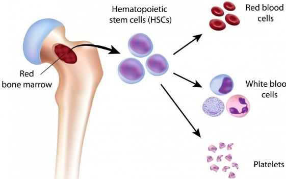Some Must-Known Facts About Bone Marrow!